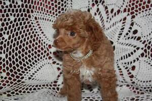 TOY POODLE, PUPPY.