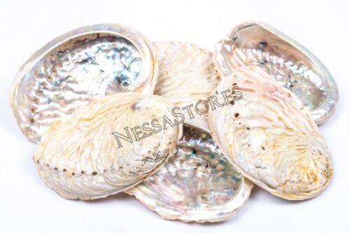 "Midae Abalone Sea Shell One Side Polished Beach Craft 3"" - 4"" (6 pcs) #JC-154"