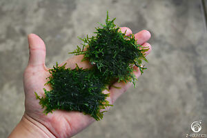 Java moss - Live Aquarium/Fish Tank Plant