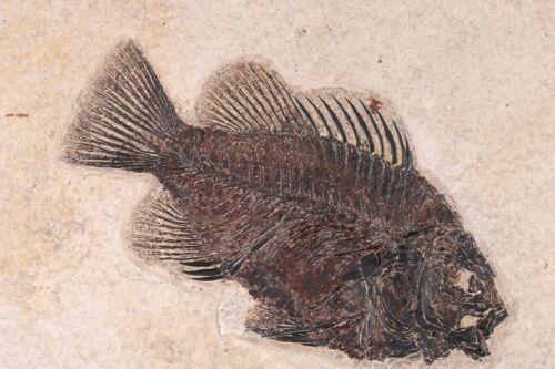 "Fossil Fish  6"" Cockerellites Priscacara Green River Formation Wyoming COA 10638"