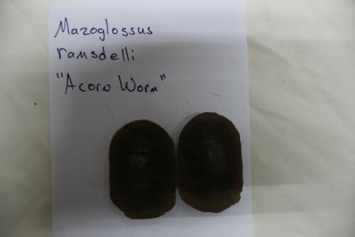 Mazon Creek Fossil Animal Mazoglossus ramsdelli Acorn Worm Fossils  LotX3