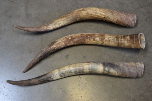 3 PCS ASSORT RAW UNFINISHED COW HORN SCRIMSHAW CARVING CRAFT DECOR 20-25 INCH