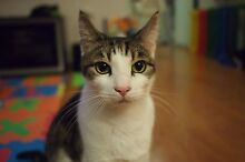 LOST family cat in Epping - grey, white, tortoise shell tabby Epping Ryde Area Preview