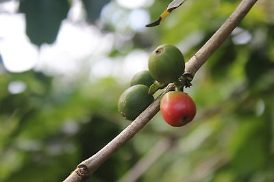 9# SAMPLER. RAW UNROASTED GREEN COFFEE.  KENYA, COLOMBIA, PERU. NEW Contrast-2018