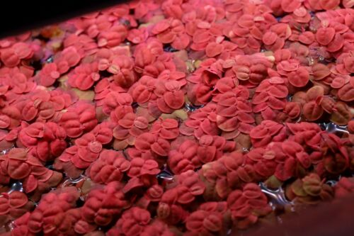 Red Root Floaters Phyllanthus Fluitans 20+ leaves, healthy, vivid color