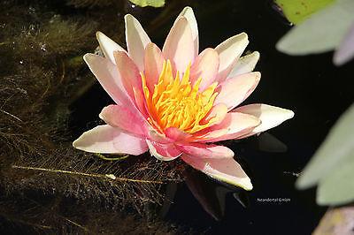 2 rosa Seerosen Masanello Pflanzen für den Teich Teichpflanzen Teichpflanze Deko