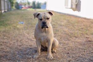 Aussie Bulldog