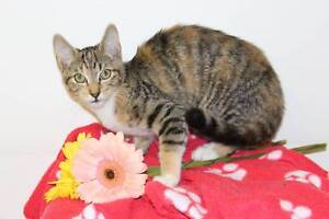 Kittens - Desexed, vaccinated, chipped, house trained