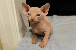 Beautiful sphynx kittens