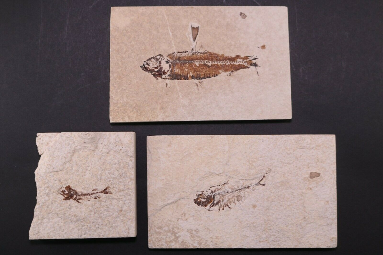 Budget 3 Fossil Fish Diplomystus, Knightia, Phareodus Green River FM Wyoming COA