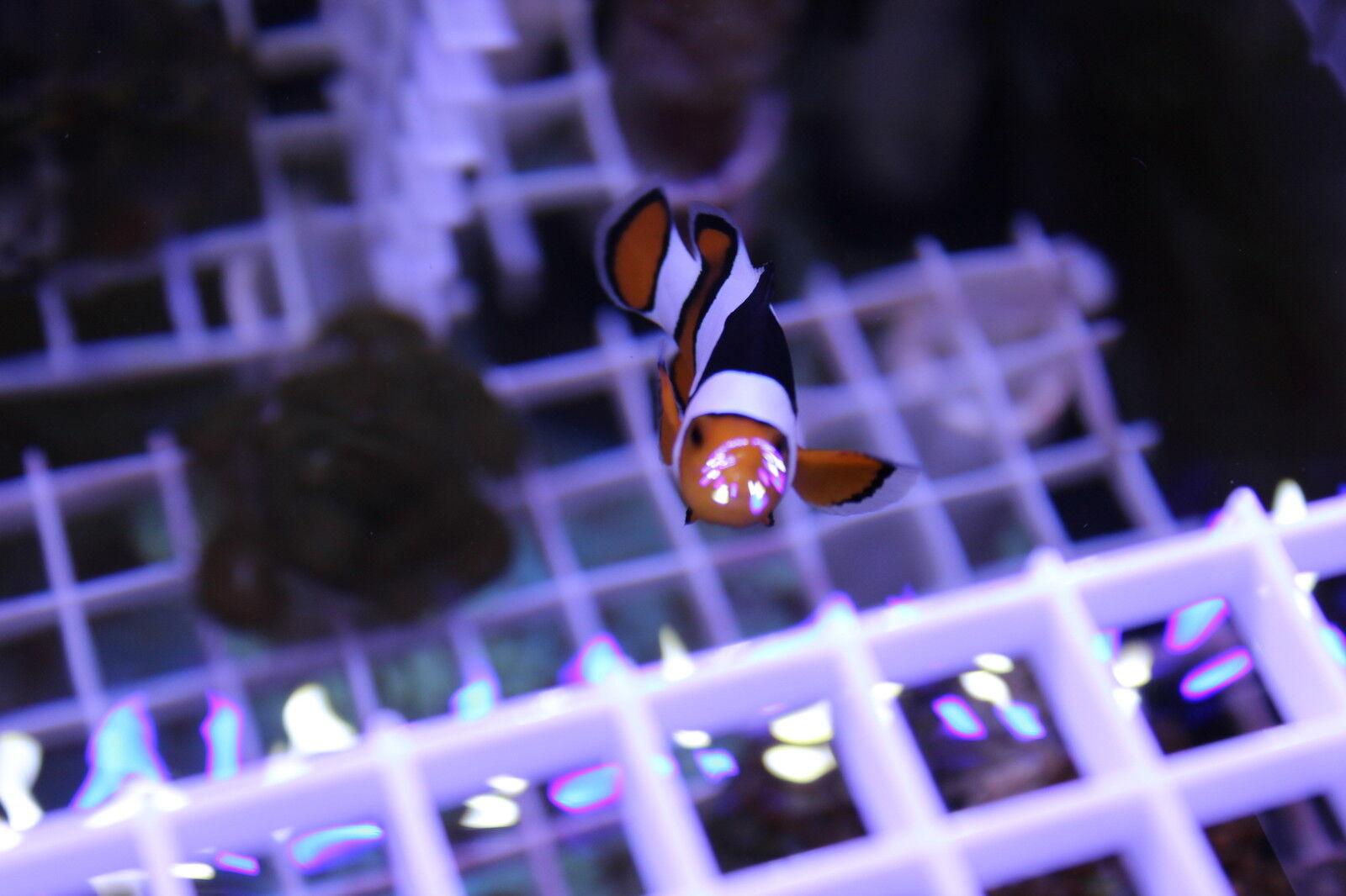 Carolina Clownfish