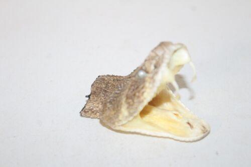 1 XL Large Rattlesnake head  6B08  side winder sidewinder diamondback diamond ba