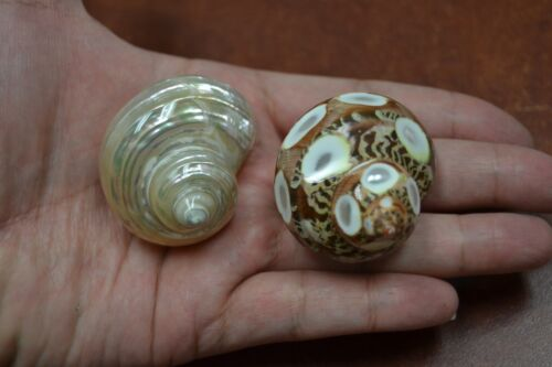 """2 PCS SMALL PEARL AND SPOTTED PETHOLATUS SHELL HERMIT CRAB 1 1/2"""" - 2"""" #7058/335"""