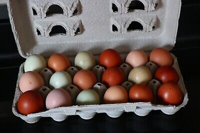 12+Black Cooper Marans Mix Rainbow Chicken hatching  eggs