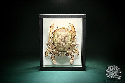 Ranina ranina + Krabbe + red frog crab + Glaskasten + Präparat