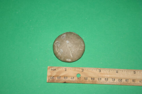 large Coenholectypus from Texas Holectypus echinoid sea urchin Cretaceous