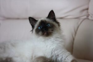 Ragdoll male kitten
