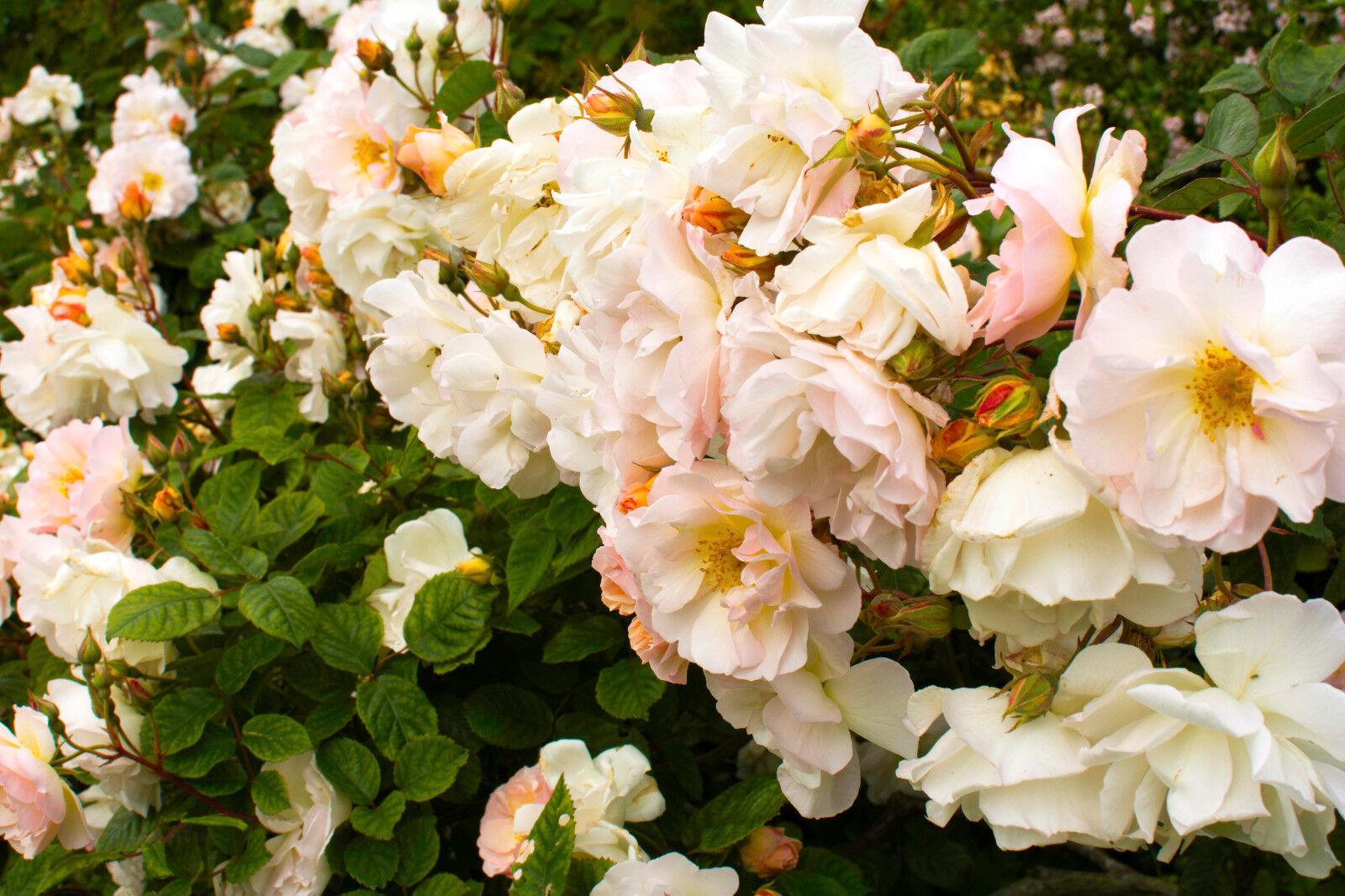Pauls himalayan musk rambling rose with double pale pink flowers pauls himalayan musk rambling rose with double pale pink flowers mightylinksfo