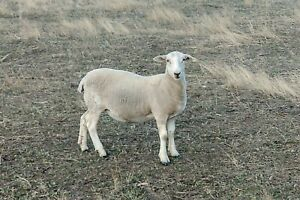 Sheep, Wiltipoll Lambs, Ewes, 2019 drop, 7 months old
