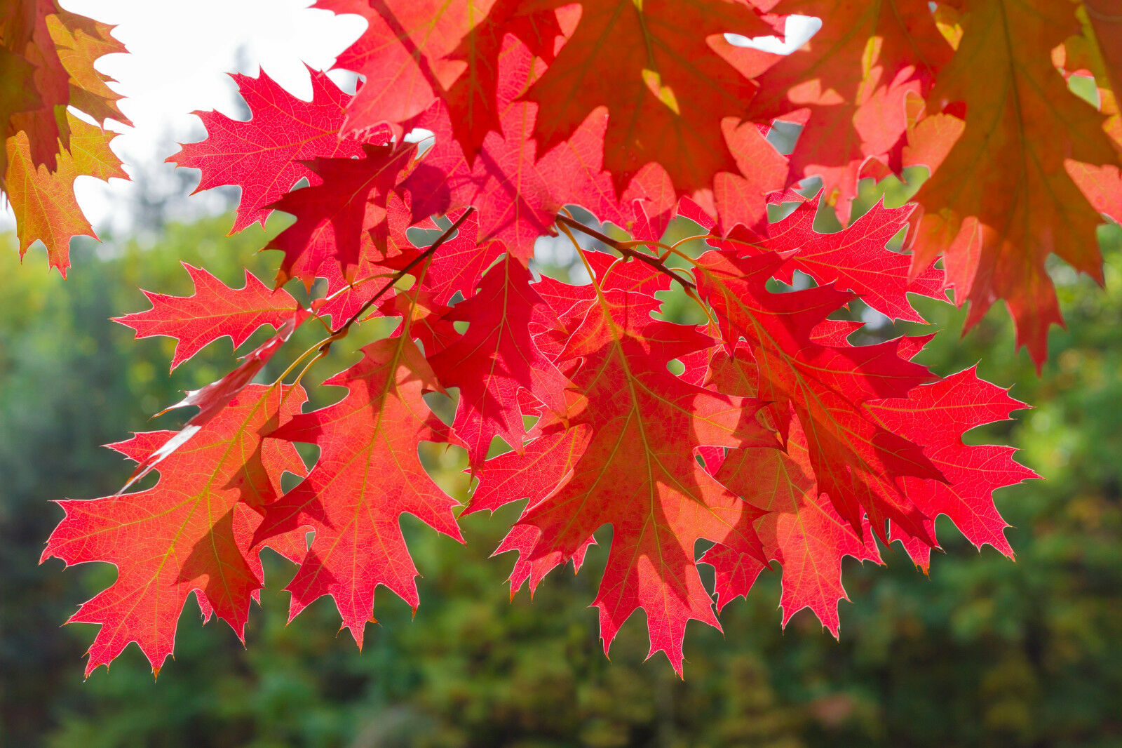 3 Red Oak Trees 2ft Tall Quercus Rubra Hedging Plants Bright Autumn Colour