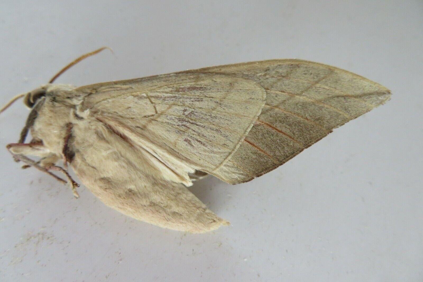 Sp6844 Insects moths Sphingidae Rhodambulyx sp Vietnam Lam Dong