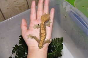 2012 male crested gecko London Ontario image 3