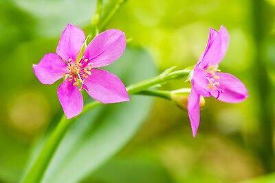 150 FAME FLOWER Jewels of Opar Talinum Portulaca Fameflower Vegetable Leaf Seeds