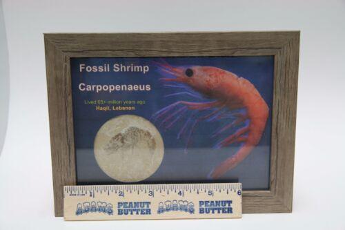 Nice Glass Front Shadowbox Genuine Fossil Shrimp Haqil Hakel Lebanon COA 0563