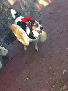My dog went missing in Bundoora today Bundoora Banyule Area Preview