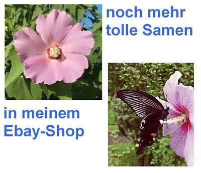 die schöne ROSENMALVE ist ein Duft- und Farbenwunder und Schmetterlingsmagnet ! - Blühende Kräuter Duft