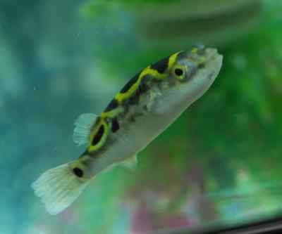 2 Figure Eight Puffer Tetraodon Biocellatus Freshwater Live Fish, Fast Shipping