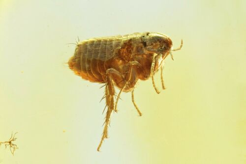 Extremely Rare FLEA SIPHONAPTERA. Fossil insect in Genuine Baltic amber #9574