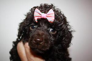 Toy Poodle PUPS Sale Wellington Area Preview