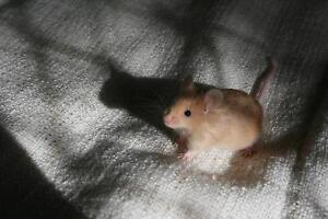 need someone to look after mouse for a mouth Swanbourne Nedlands Area Preview