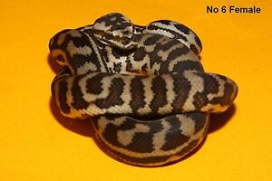 Quality S.W. Carpet Pythons for sale Iluka Joondalup Area Preview
