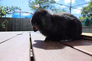 Rabbit - Mini Lop / Dwarf Black Doncaster East Manningham Area Preview