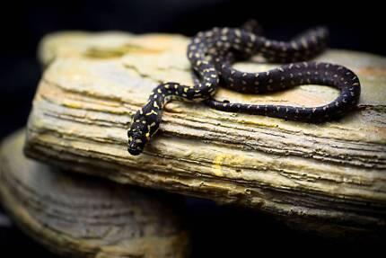 diamond python hatchling Mount Gravatt Brisbane South East Preview