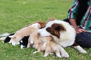 Purebred male border collie puppies for sale Glen Innes Glen Innes Area Preview