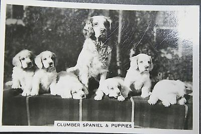 Clumber Spaniel and Puppies    Superb Vintage  Photo Card ## EXCELLENT CONDITION