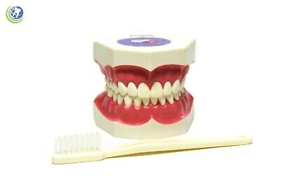 Teeth With Toothbrush Teaching Demo Model Over-sized Demonstration