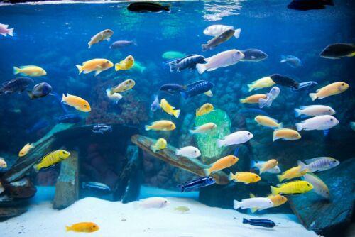 Assorted Mbuna African Cichlids Live Tropical  Aquarium Fish Tank Cichlid