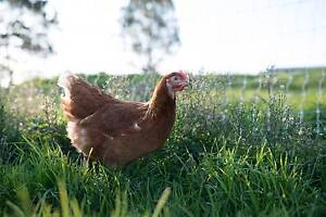 Laying Hens - New 5 AND 7-Month-Old's With Money Back Guarantee! Keysborough Greater Dandenong Preview