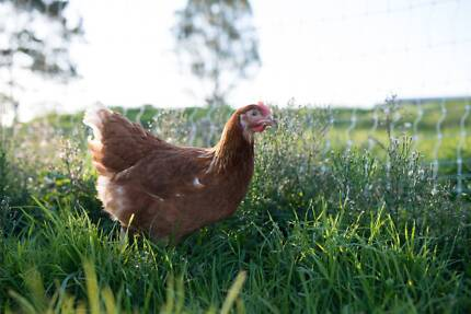 New Free Range Hens/Chickens With Daily Egg Guarantee! Keysborough Greater Dandenong Preview