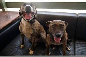 2 STAFFIES FREE - DESPERATE NEED FOR BETTER HOME <3 Panania Bankstown Area Preview