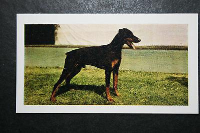 Dobermann Pinscher   Vintage Colour Photo Card  #  Excellent Condition