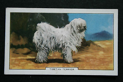 Tibetan Terrier    Original 1930's  Vintage Coloured Card  # VGC