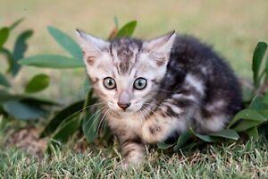 Purebred Black Silver Bengal Kittens