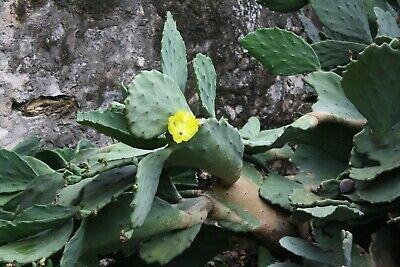 Opuntia matudae Xoconostle Prickly Pear Cactus Seeds succulent yellow blooms Blooming Pear Tree
