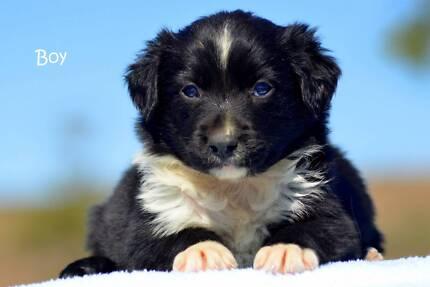 Purebred Border Collie Puppies Merle & Black & White