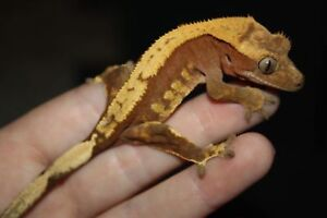 Male crested gecko and tank $90